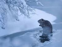 Poza zilei vine de la National Geographic. Castorul solitar
