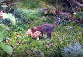 VIDEO VIRAL! Din seria ce mai face pisica mea… Tocmai a prins un tigru