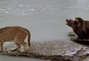 Scena emotionanta din filmul L'Ours! Un pui de urs scapa in ultimul moment din ghearele unei pume. VIDEO