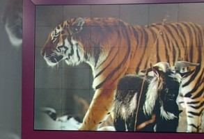 Tigrul Timur si capra Amur, o prietenie nebuna, dar frumoasa. VIDEO