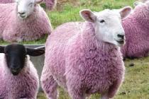 Cea mai frumoasa oaie din Romania este roz si traieste la Botosani