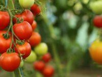 Producatorii de rosii cultivate in sere sau solarii au mai mult timp sa-si valorifice produsele