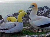 """Nigel, cea mai singura pasare din lume, a murit pe insula Mana alaturi de""""iubita"""" sa din beton"""