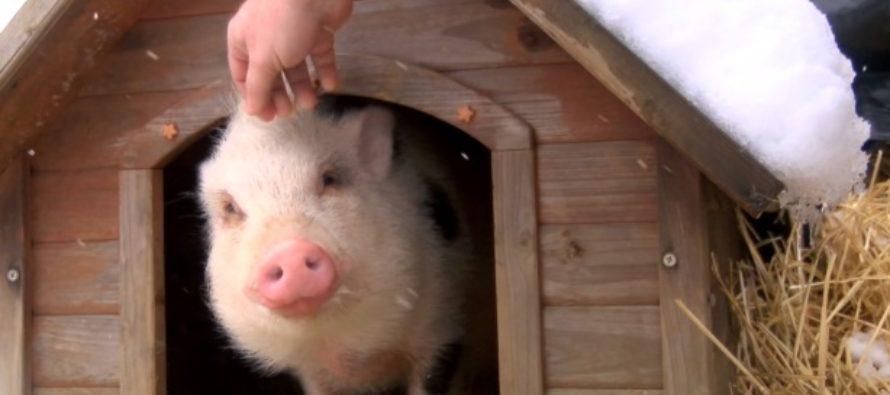 Doi tineri au adoptat un purcel de la un adapost de animale si l-au mancat