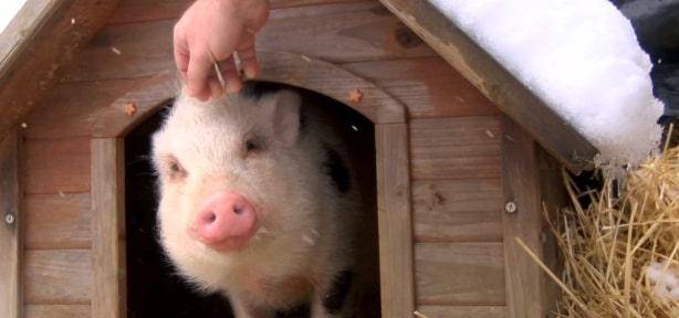 Doi tineri au adoptat un porc de la un adapost de animale si l-au mancat