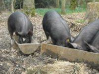 Proprietarii de animale afectate de pesta porcina africana primesc despagubiri