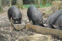 Epidemia de Pesta Porcina Africana (PPA) izbucnita vara aceasta in Romania ar fi putut fi evitata