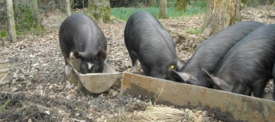 Pesta porcina a ajuns in cea mai mare crescatorie din Romania. 140.000 de porci urmeaza sa fie sacrificati