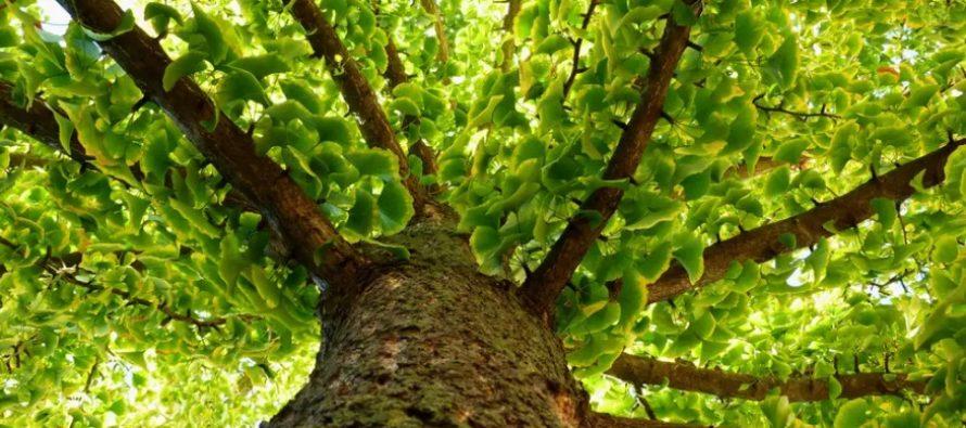 Ginkgo Biloba – O planta cu beneficii minune pentru sanatate dovedite inca din antichitate de medicii chinezi