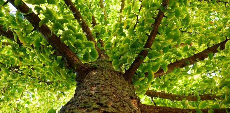 Ginkgo Biloba - O planta cu beneficii minune pentru sanatate dovedite inca din antichitate de medicii chinezi
