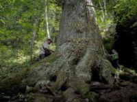 Un brad de pe vremea lui Mihai Viteazul din judetul Sibiu poate fi votat Arborele European al anului 2020