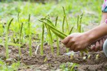 Romanii care au plecat la cules de sparanghel si alte legume au ajuns in Germania. Unii politicieni nemti nu vad insa cu ochi buni venirea romanilor
